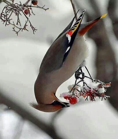 Sillehale Spiser Kolde Baer Fugle Billeder Sommerfugle