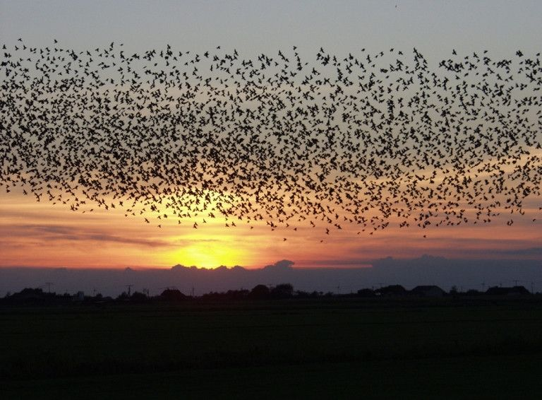 Black Sun  The Black Sun is the phenomenon in Denmark, which occurs just before sunset in spring and autumn. It describes an enormous flock of European starlings (numbering hundreds of thousands), who gather from varying corners, creating an amazing pattern in the sky, almost entirely blocking the sun.