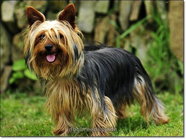 Yorkshire Terrier Dog Breeds That Dont Shed Dog Breeds Toy Dog Breeds