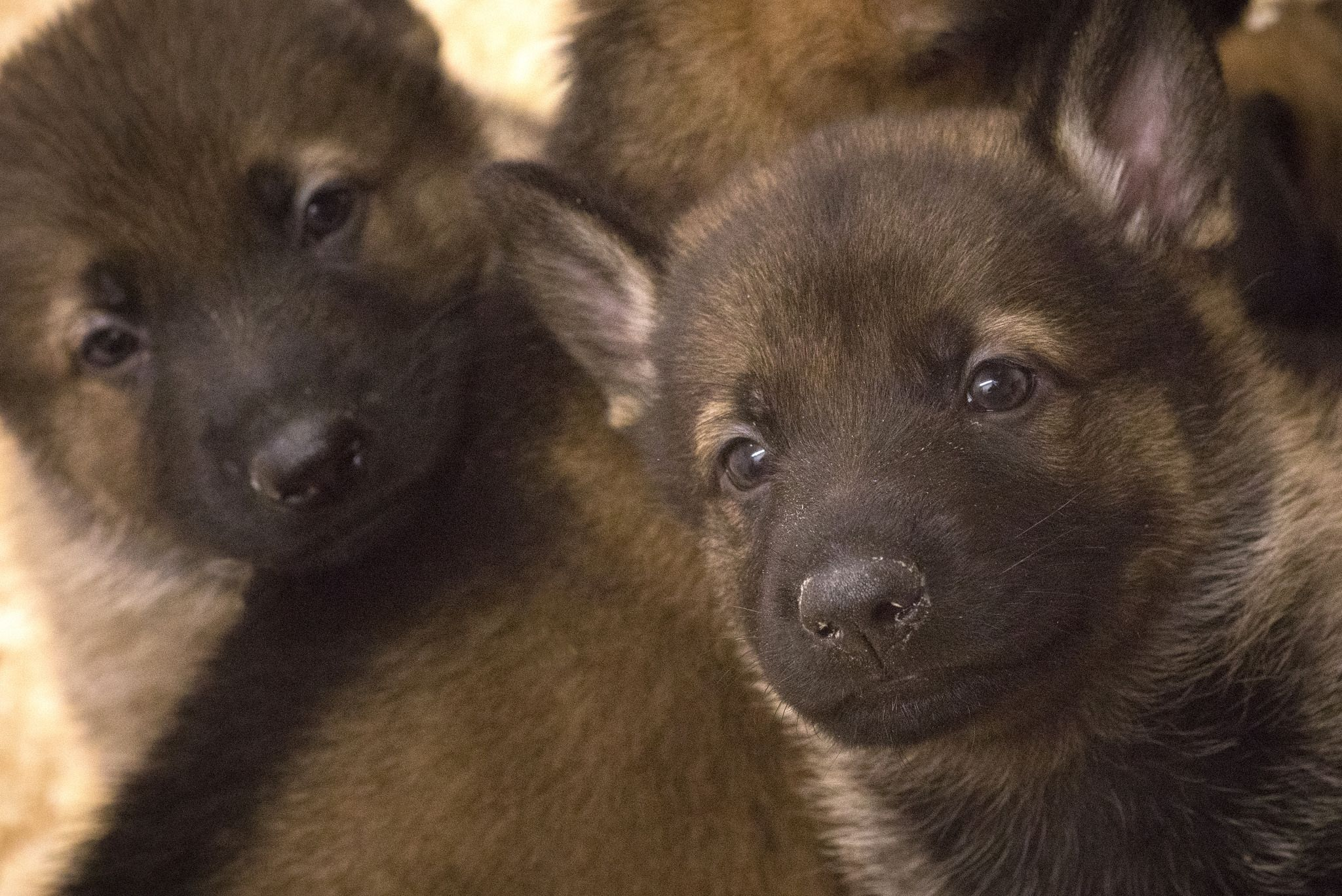 Just The Two Of Us German Shepherd Puppies Dogs German