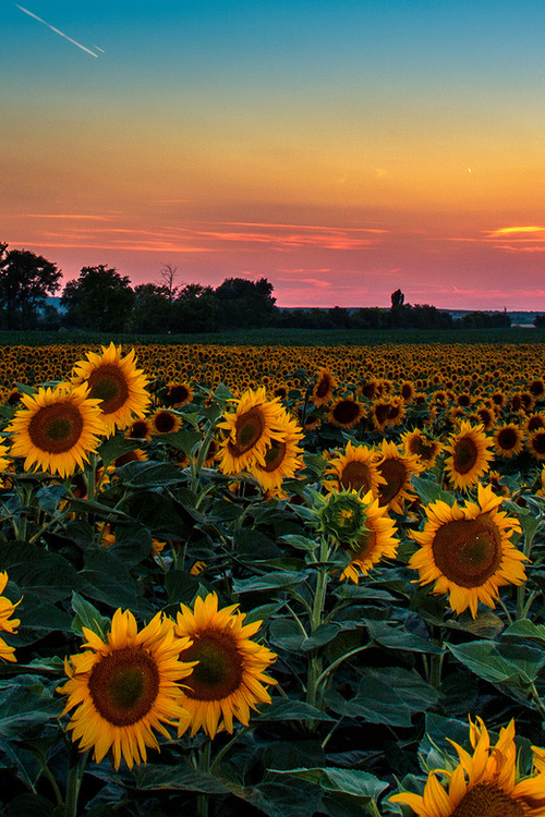 Beautiful #sunflowers
