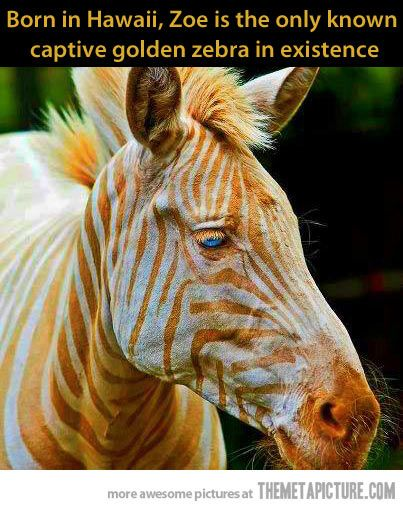 """This IS Zoe the """"golden"""" zebra in Hawaii, but her colors in this photo are 'shopped. She has amelanosis. Her actual colors are more of a peachy tan color, not orange. And she isn't the only one in existence."""