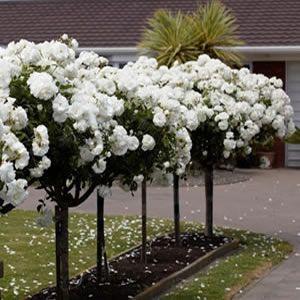 Standard Rose Iceberg Garden Express Rose Trees Standard Roses White Gardens