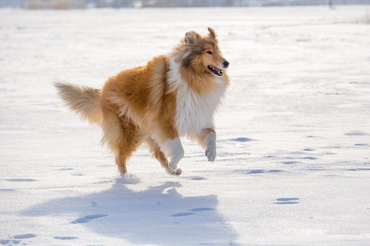 Collie Alisa Collie Breeds Collie Dog Collie