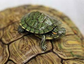 Types Of Pet Turtles Pet Turtle Types Of Pet Turtles Turtle