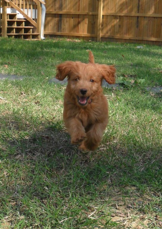 Mini Golden Doodle Puppies Really Cute Dogs Doodle Puppy