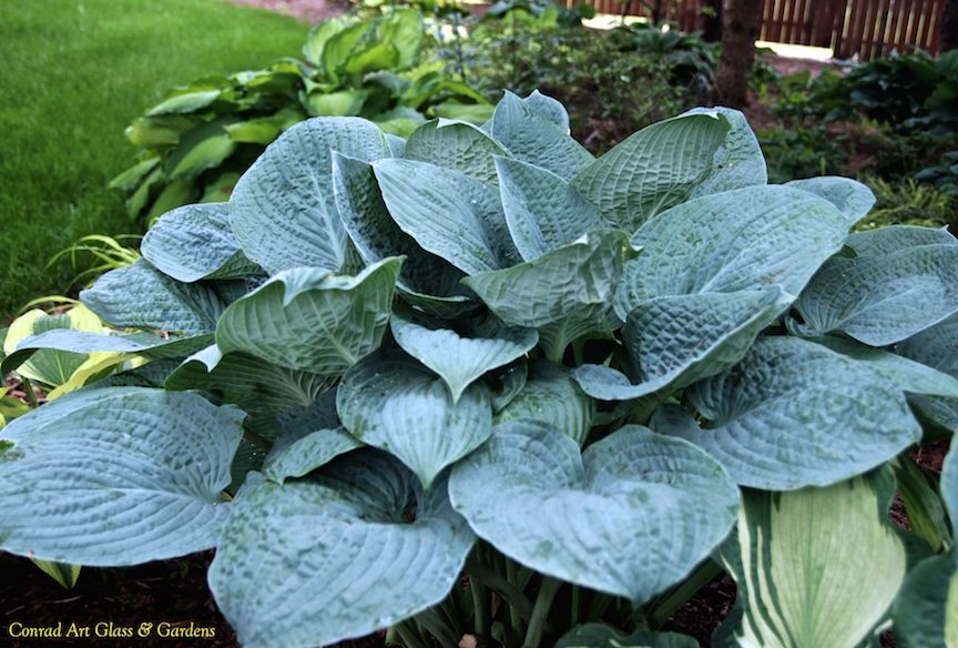 Hosta Blue Hawaii New Posting Of Photos Of The 2015 Season At