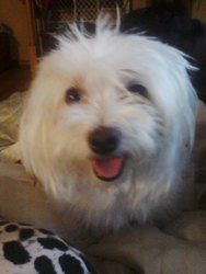 Adopt Bianca On Possible Adoptable Dogs Maltese Dogs Dogs