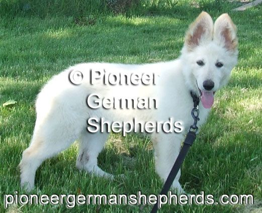 White Long Coat German Shepherd Puppy German Shepherd Puppies