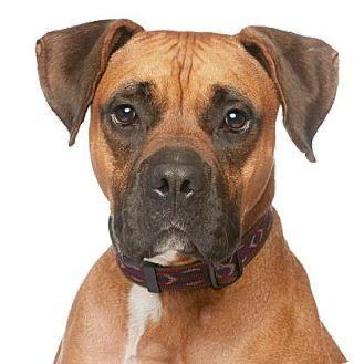 Los Angeles, CA Boxer Mix. Meet Eddie a Dog for Adoption