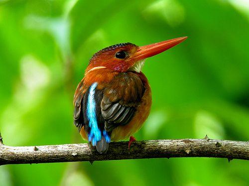 Sulawesi Dwarf Kingfisher-Ceyx fallax by Bram Demeulemeester