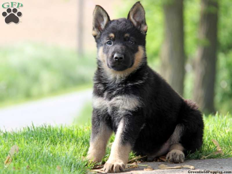Atley German Shepherd Puppy For Sale From Strasburg Pa Greenfield Puppies Greenfield Puppies German Shepherd Puppies Puppies