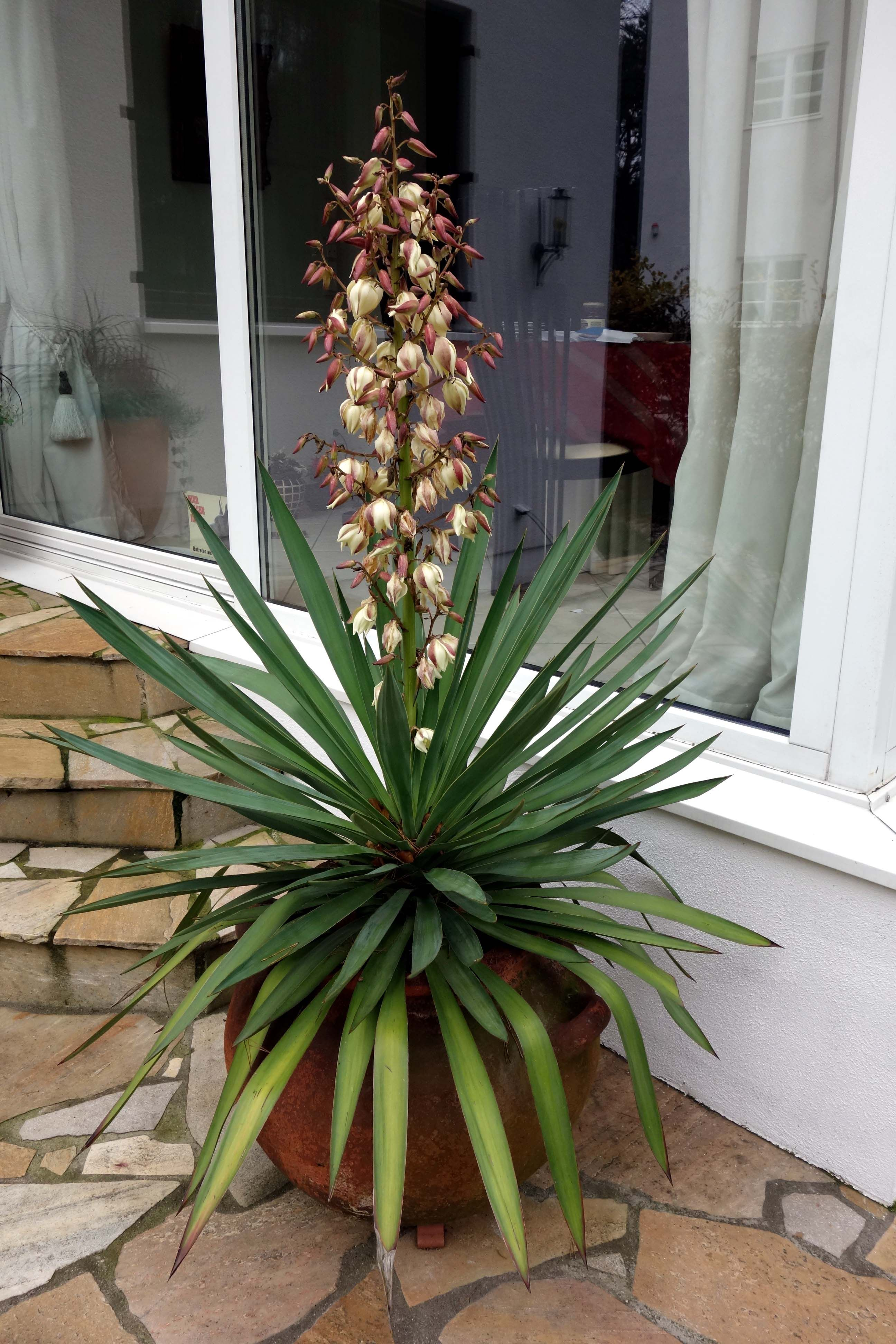 blaue palmlilie yucca baccata sonnig trocken. Black Bedroom Furniture Sets. Home Design Ideas