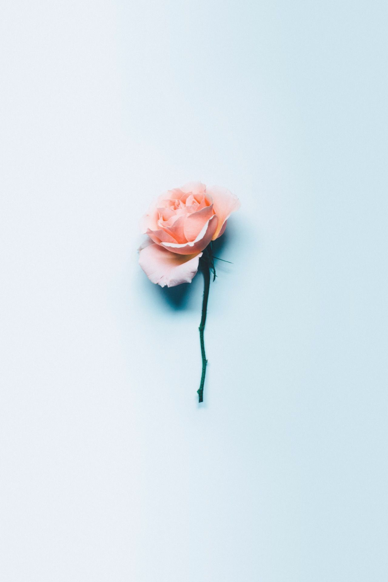 Aesthetic Rose Wallpapers Top Free Aesthetic Rose Aesthetic Roses Rose Wallpaper Blue Artwork