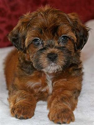 Shih Poo Puppy For Sale In Boca Raton South Florida Shih Poo Puppies Shih Poo Puppies For Sale