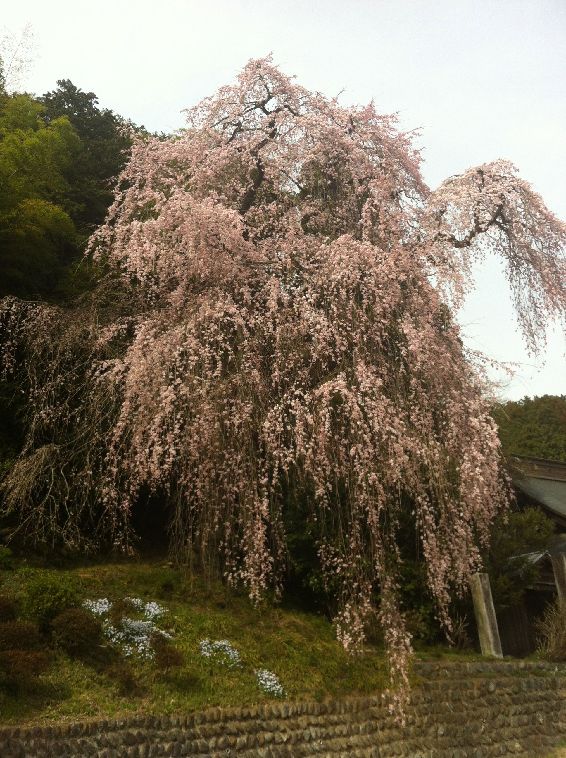 Weeping Cherry Blossom Very Old Tree Ome Japan Japanese Garden Beautiful Japanese Gardens Cherry Blossom