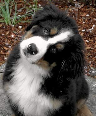 Bernese Breeders Info For Berner Puppy Buyers Puppies Mountain Dogs Dog Breeds