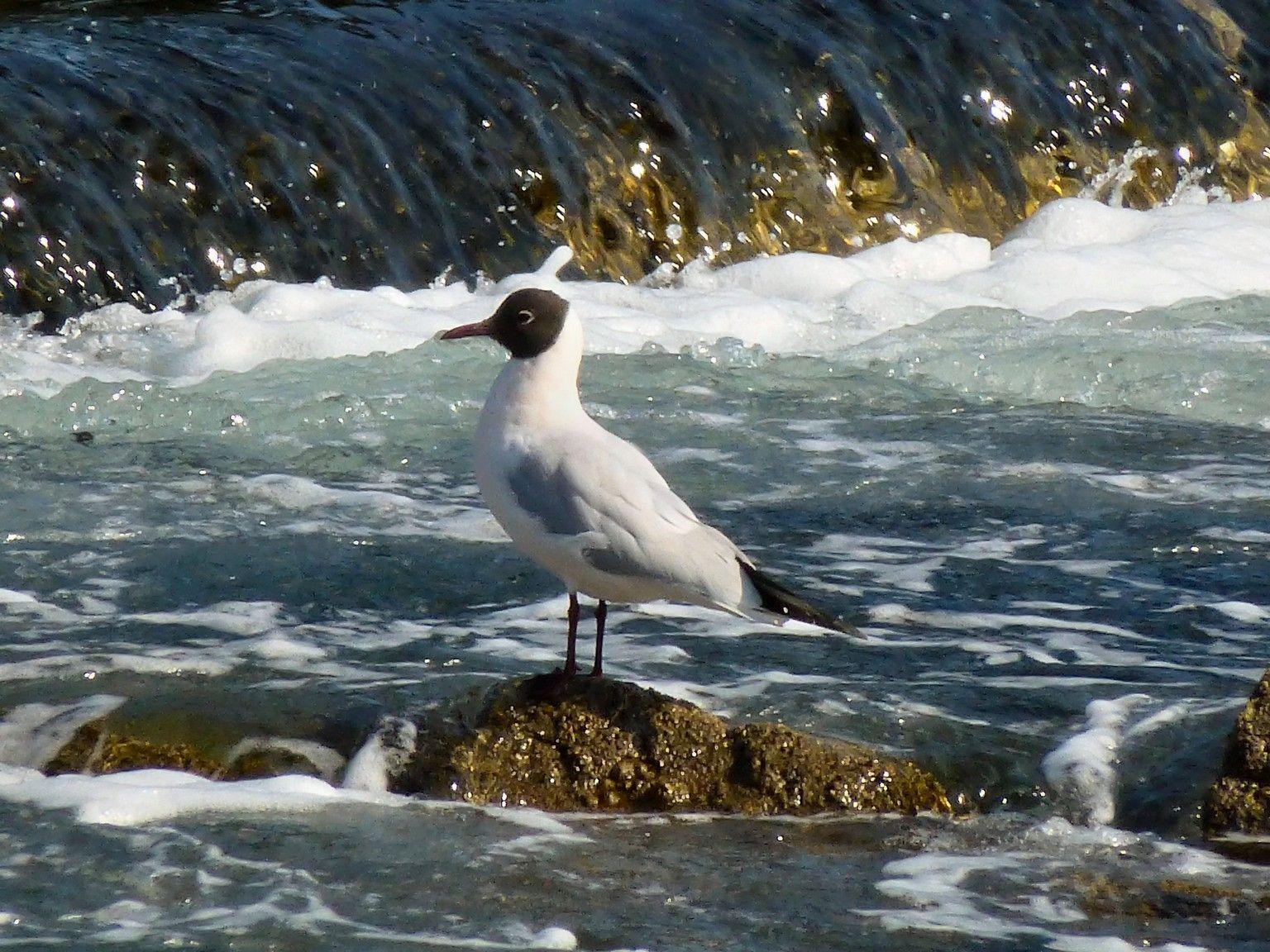 Mouette rieuse berder golfe du morbihan 56 france for Oiseaux du sud de la france