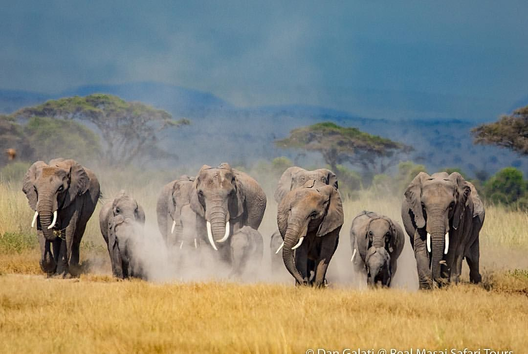 An Elephant Herd Running Toward Us From Mt Kilimanjaro In
