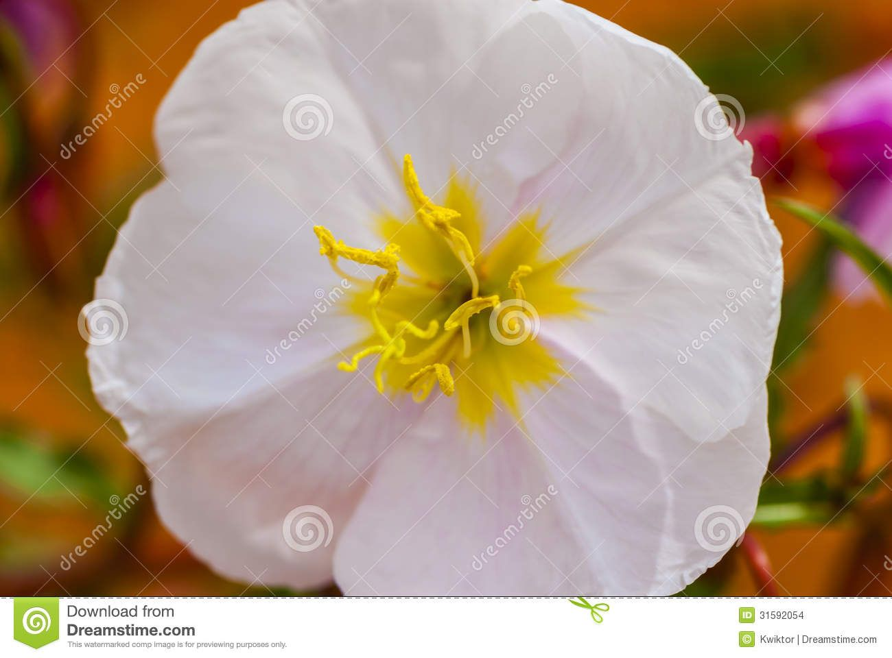 White With Yellow Stock Images White Flower With Yellow Center