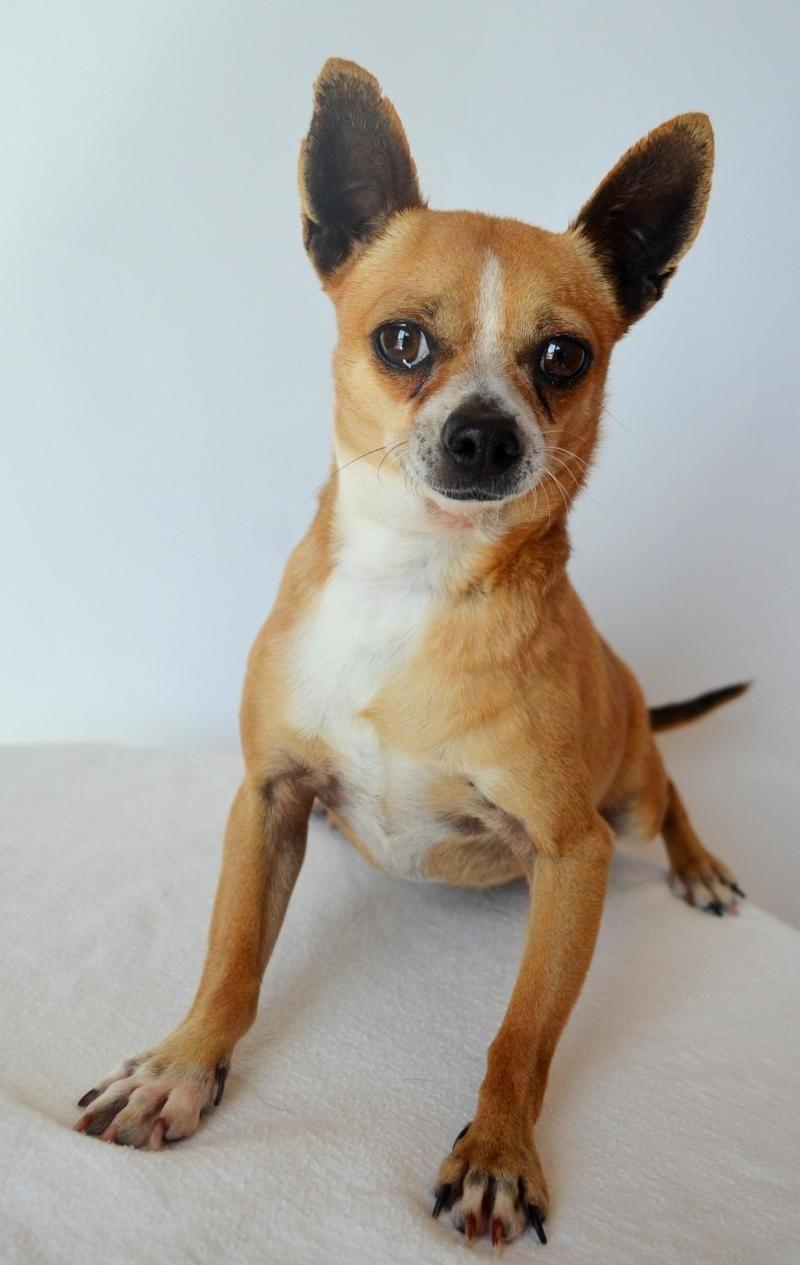 Adopt Einstein on Pet adoption center, Chihuahua dogs