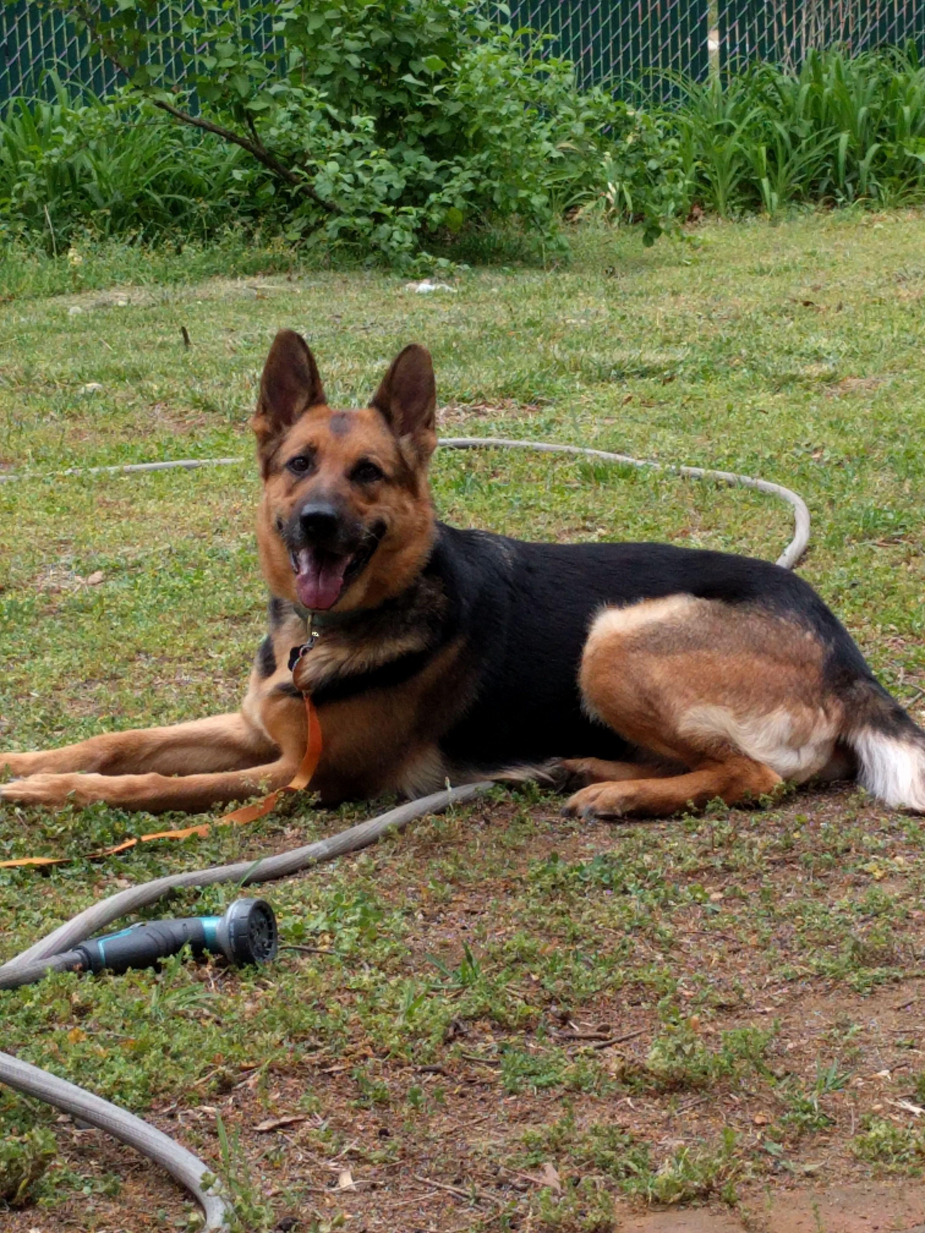 Adopt Hemi On German Shepherd Dogs Shepherd Dog Dogs