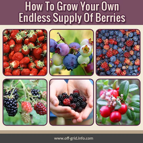 How To Grow Your Own Endless Supply Of Berries Off Grid Berries Growing Fruit Growing Food