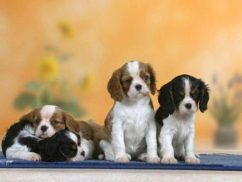 Cavalier King Charles Spaniel Graceful And Affectionate King Charles Cavalier Spaniel Puppy Cavalier King Charles Spaniel Tricolor Spaniel Puppies