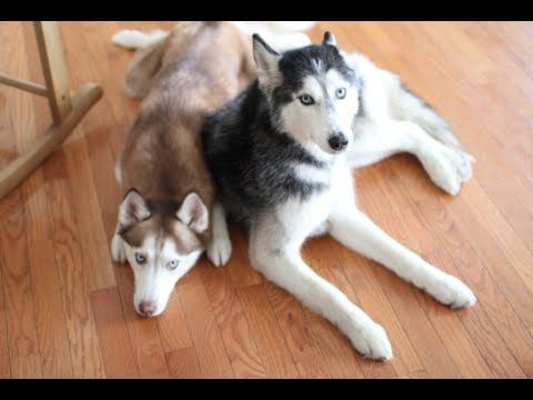 Mishka The Talking Husky And Laika Know Where The Treats Are