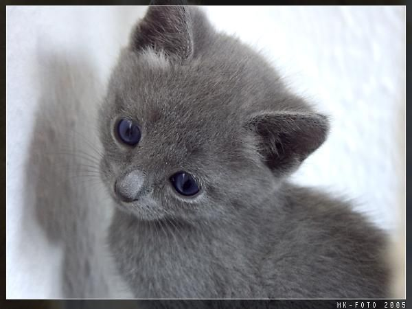 What A Cute Baby Russian Blue Russian Blue Kitten Blue Cats