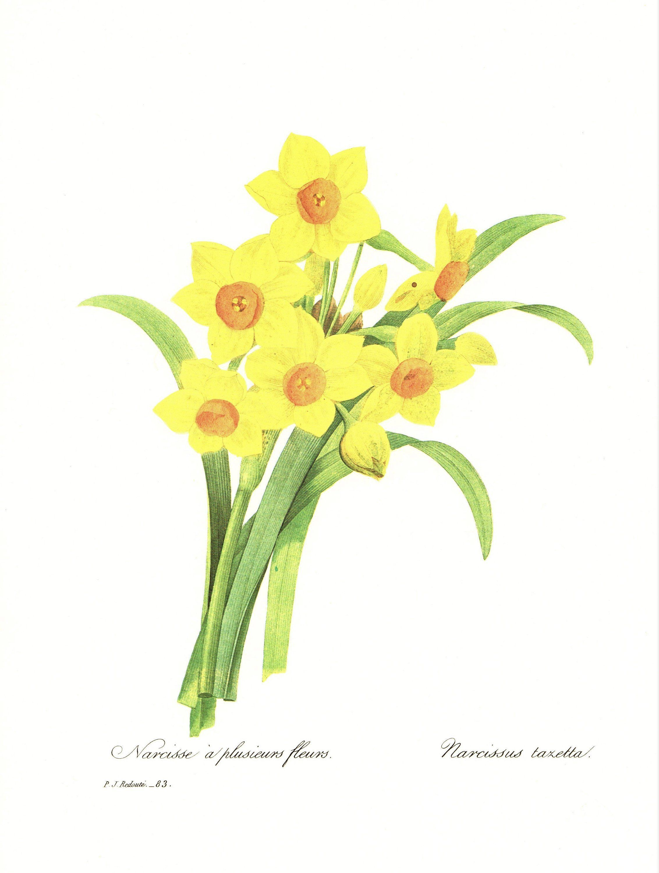 Most current Photographs Narcissus botanical Thoughts Long-lived daffodils are amongst the easiest