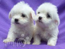 Just arrived Maltese Puppy for sale Euro Puppy in 2020