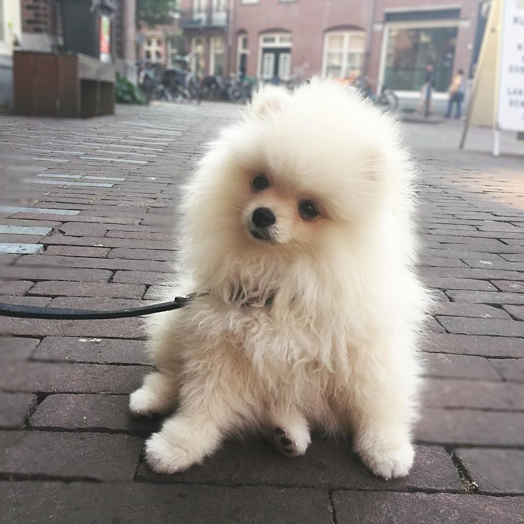 My Look When Mommy And Daddy Eat Pizza Pomeranian Pinterest