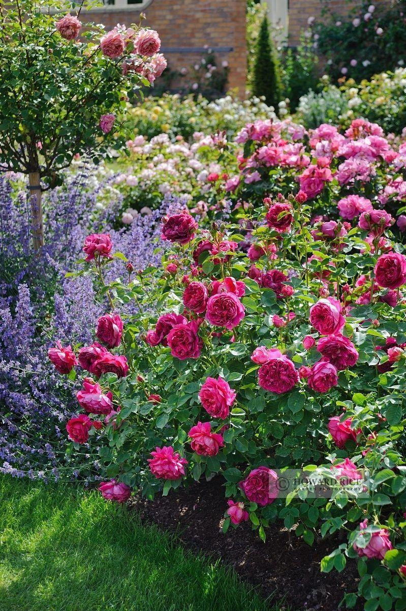 Lavender / rose / peony / Romantic cottage garden / gardening ideas ...