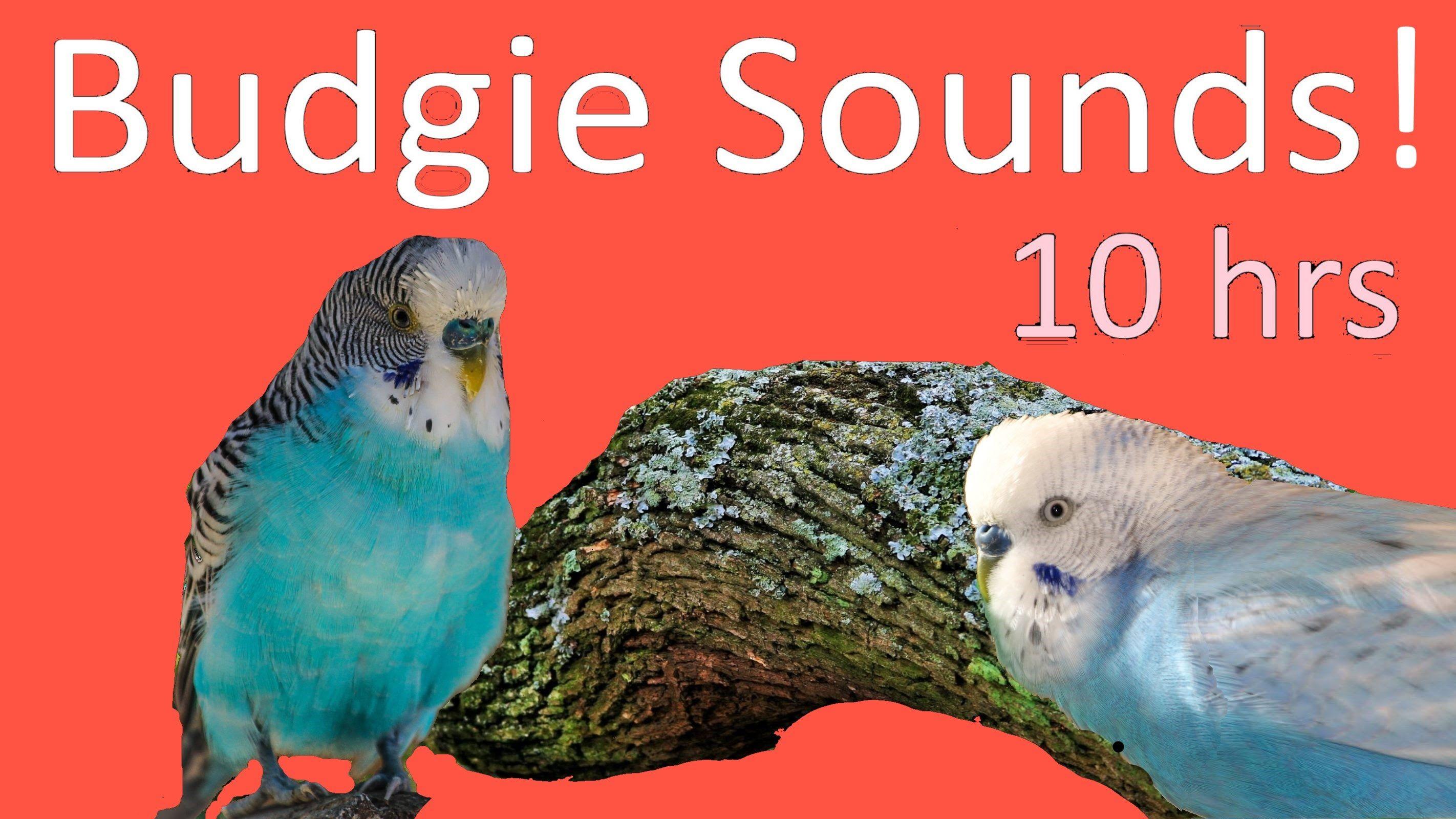 Budgie sounds (10 hrs) | Birds | Budgies, Parakeet, Animals