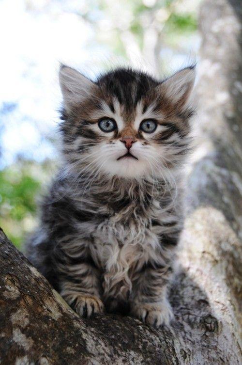 6 Allergiker Katzen Fur Uberempfindliche Samtpfotenfreunde Sibirische Katze Katzen Katzenarten