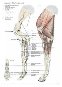 brachial artery cephalic vein horses pinterest horse anatomy