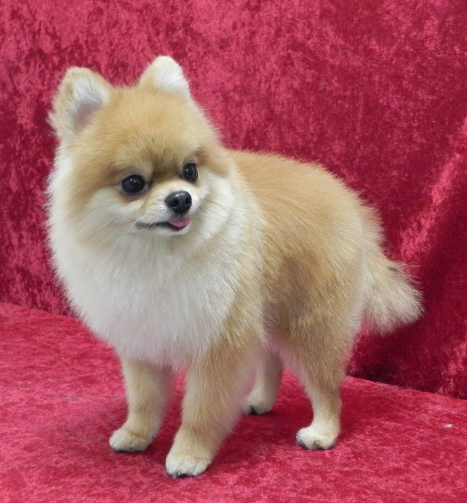 Pomeranian First Haircut Groomed By Caroline