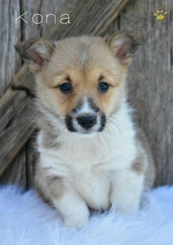 Welsh Corgi Puppy Dogs Puppies Welsh Corgi Puppies Pembroke
