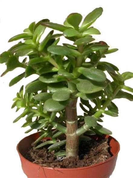 Crassula ovata jade plant money plant native to south - Plantes grasses d interieur ...