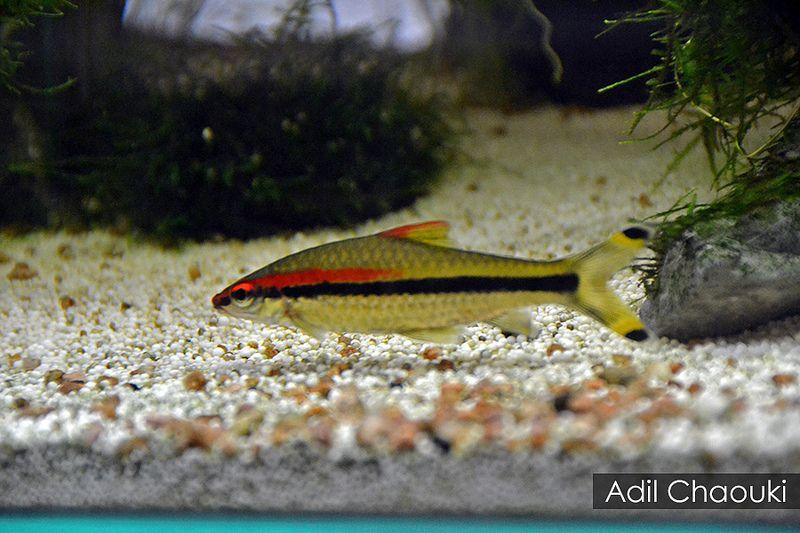 Denison Barb Denison Barb Aquarium Fish Fish Pet