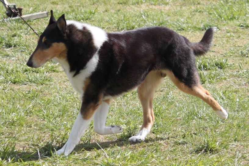 Smooth Collie Dog Photo Smooth And Rough Coat Images