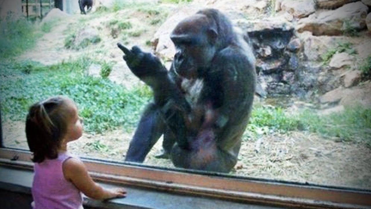 GORILLAS PRANKING HUMANS (HD) [Funny Pets] | Videos ...