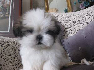 Pet Not Found Shih Tzu Pets Shih Tzu Mix