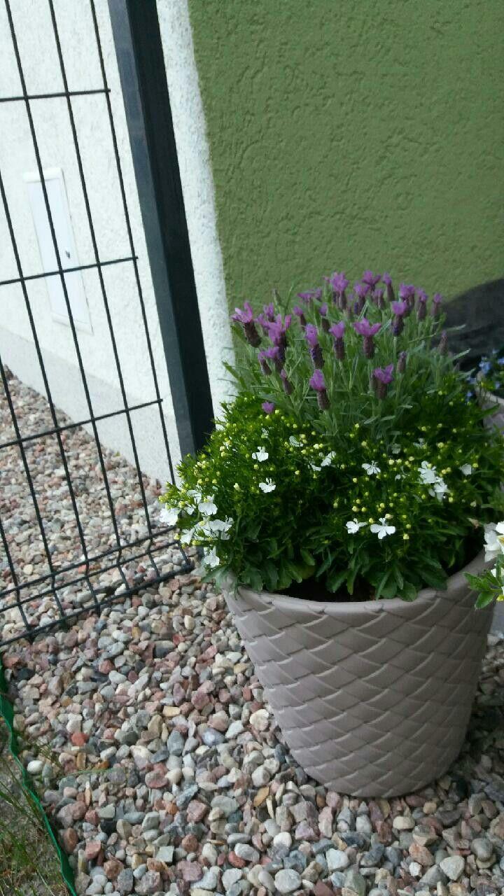 Lobelia Lawenda Plants