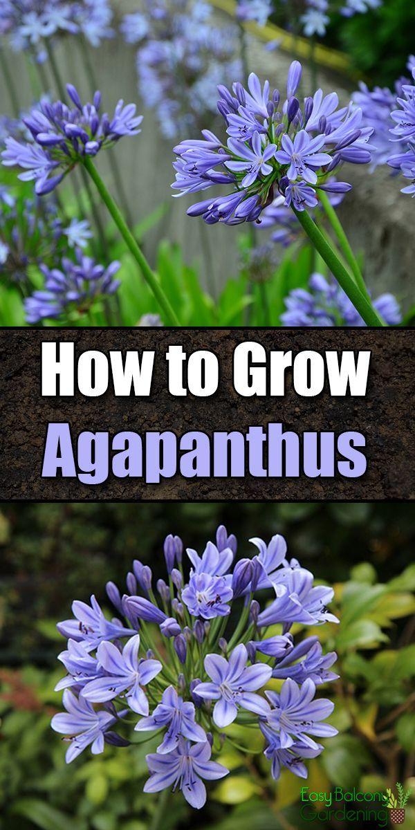 Giardinaggio Fiori.How To Grow Agapanthus Lily Of The Nile Giardinaggio Fiori E