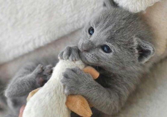 Little Grey Kittie Kittens And Puppies Russian Blue Kittens