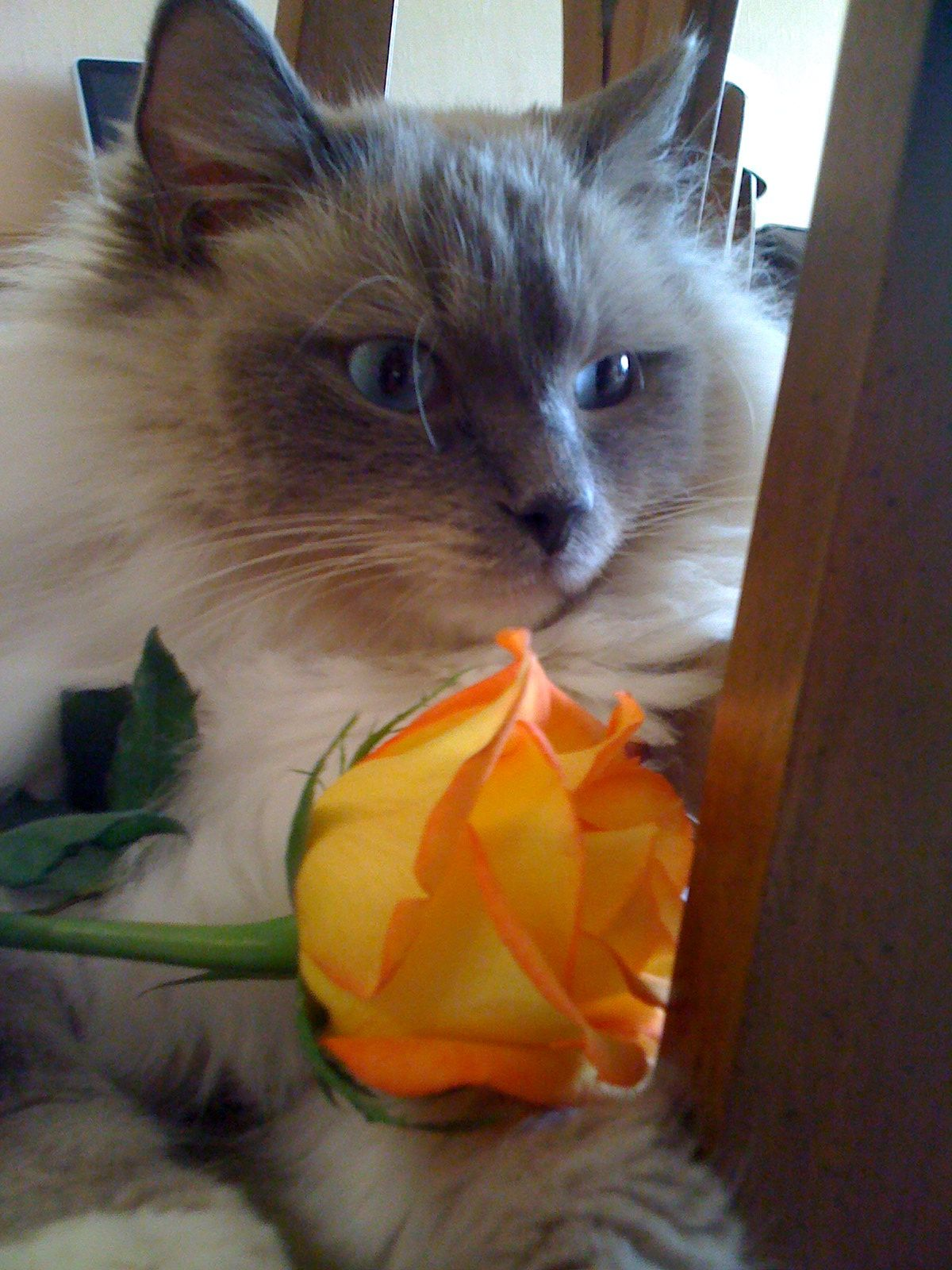 My Ragdoll Cat Hansel With Images Ragdoll Cat Cats And Kittens Cats
