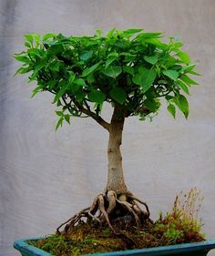 Bonsai pepper plants! This is really really neat. Found this while I was reading about how to preserve pepper plants through ... pinned with #Bazaart - www.bazaart.me