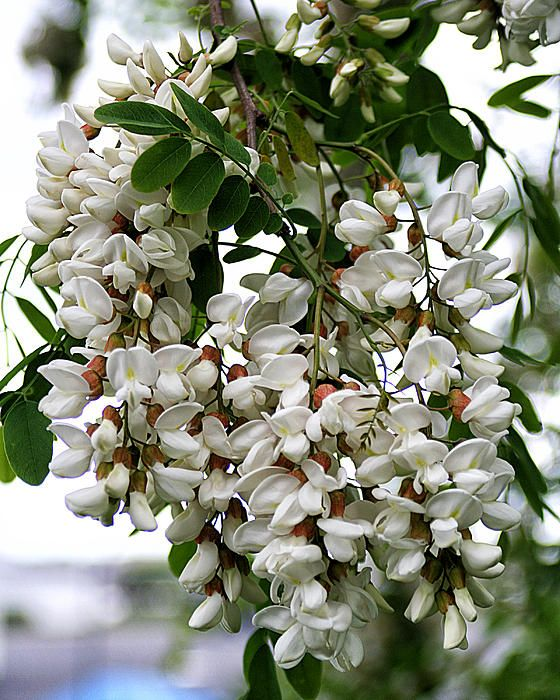 Acacia Tree Flowers A Cluster Of White Acacia Tree Flowers Moving Plants Acacia Tree Flowers